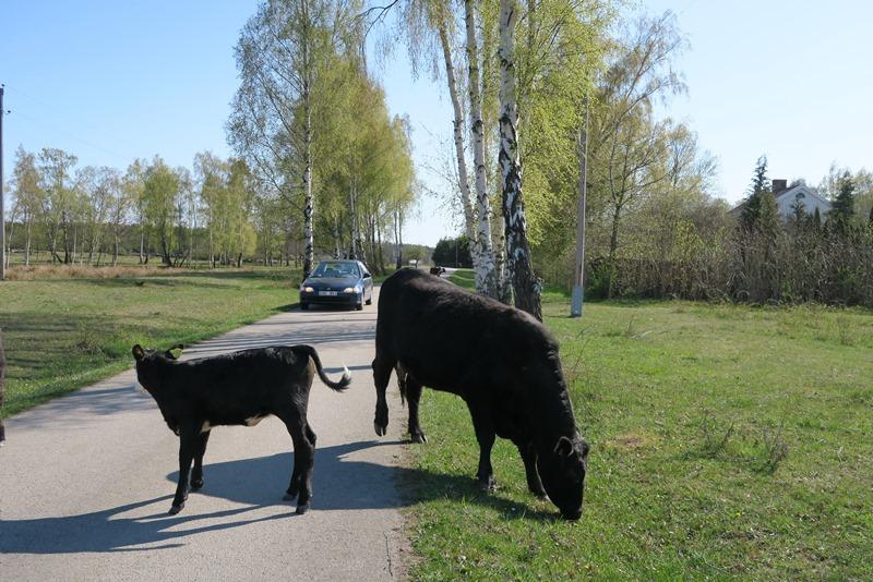 Køer på vejen på Øland