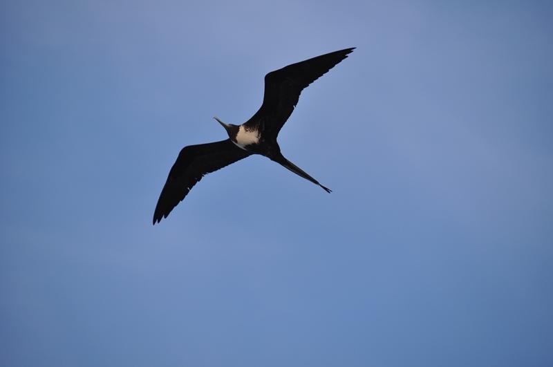 Frigatfugl på Isla Mujeres, Mexico