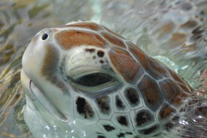 Havskildpadde fra Isla Mujeres