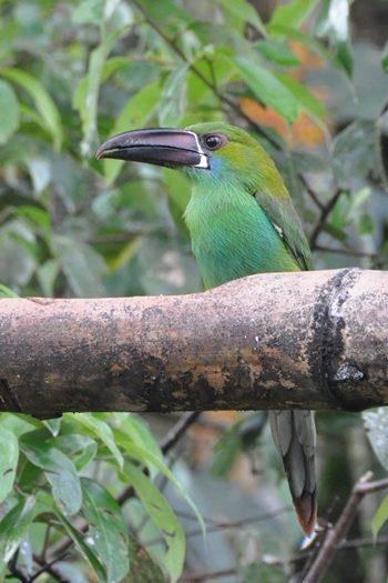 Grøn toucanet
