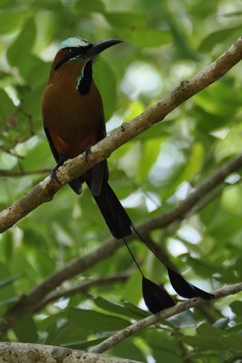 Mot mot fugl ved Uxmal i Mexico