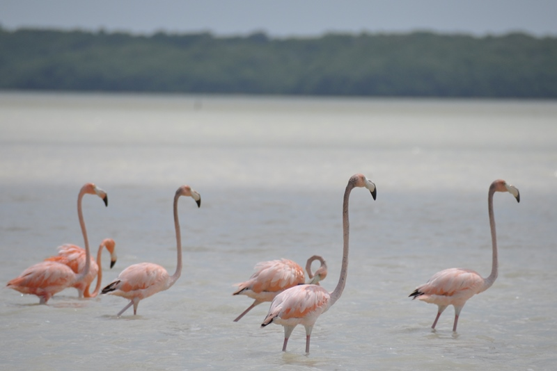 Flamingoer i Mexico