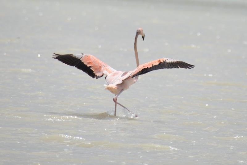 Flamingo i Mexico