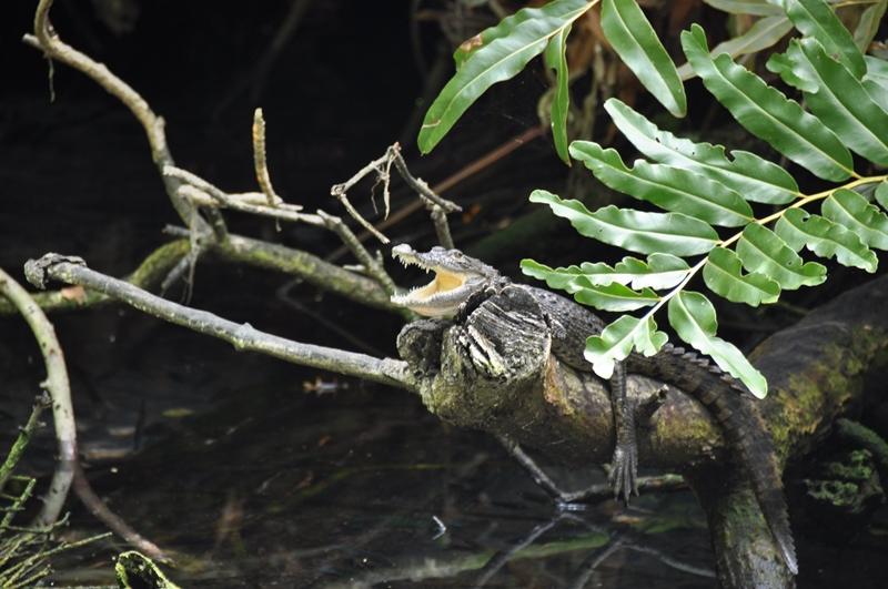 Krokodille på gren i Mexico