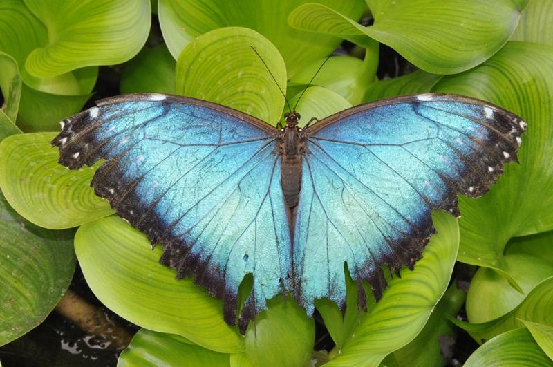 Sommerfugl i sommerfuglehaven Mariposario