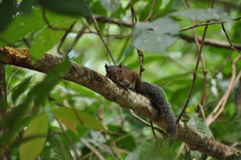 Egern i Cockscomb Basin Jaguar Reserve
