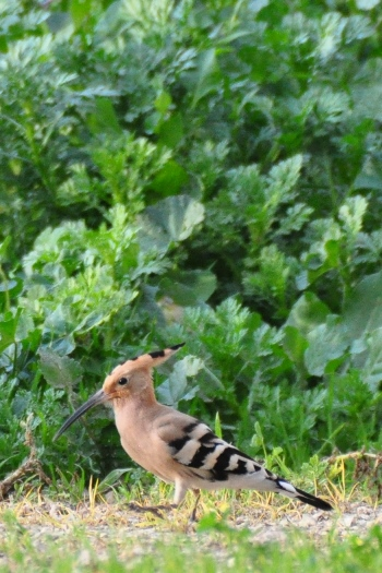 Hærfugl i Akko