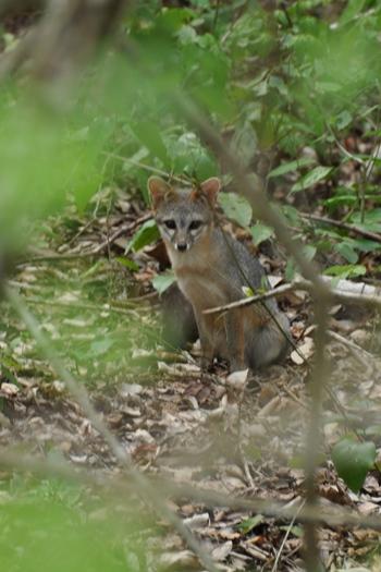 Grå ræv fra Calakmul i Mexico