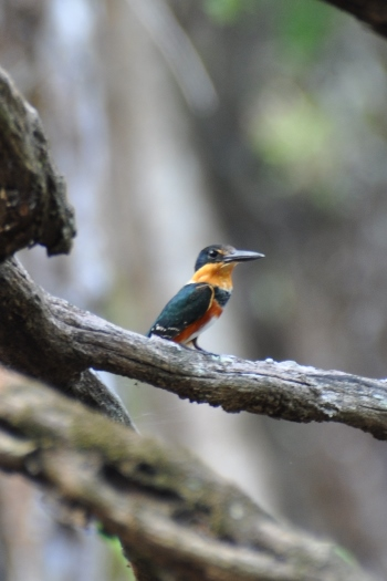 isfugl nær Calakmul i Mexico