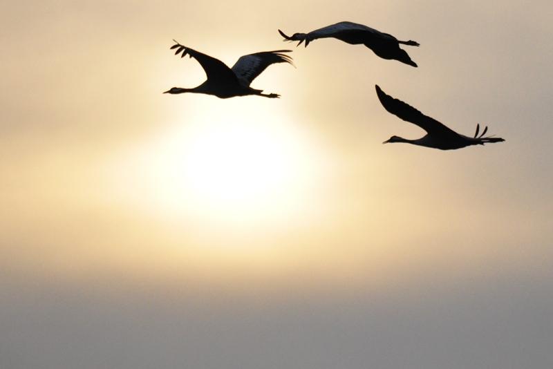 Flyvende traner i solnedgangen