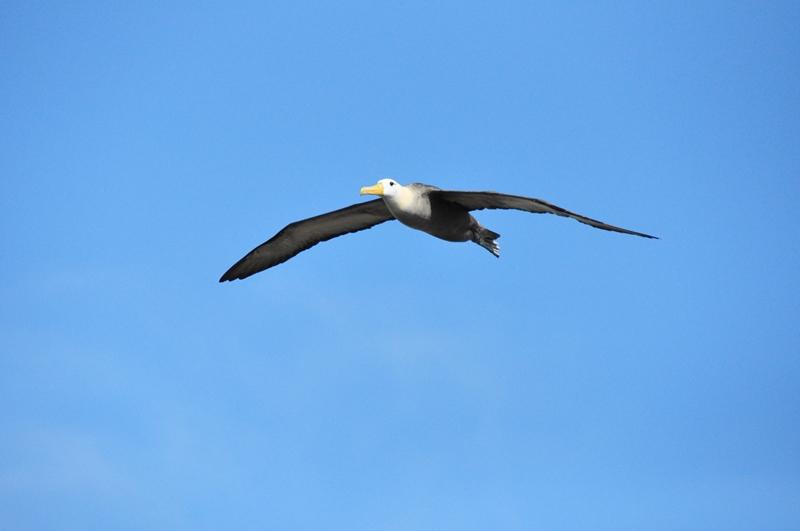 En stor albatros