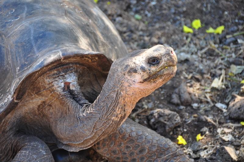 Landskildpadde på Darwin Centeret