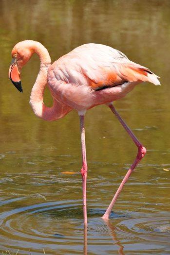 Flot flamingo helt tæt på