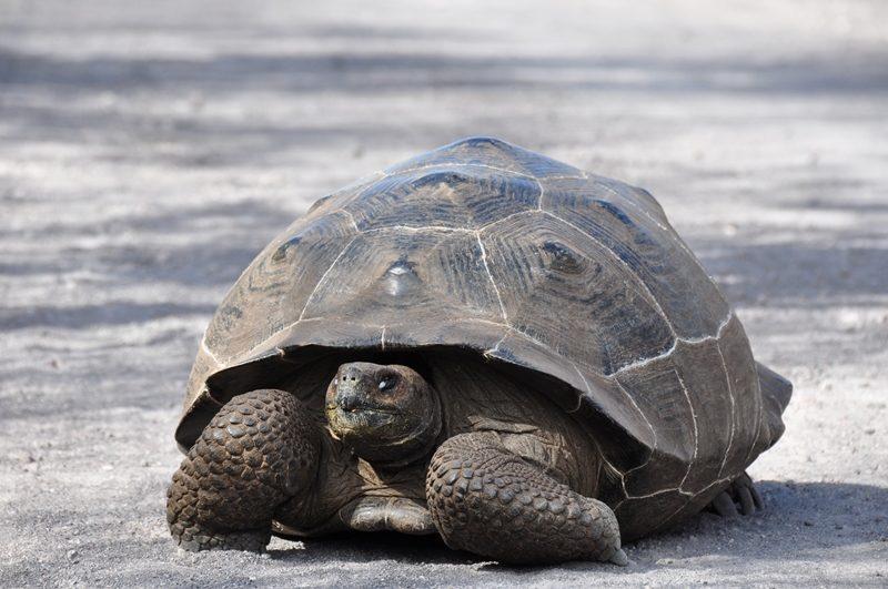 Landskildpadde på Isla Isabela, Galapagos