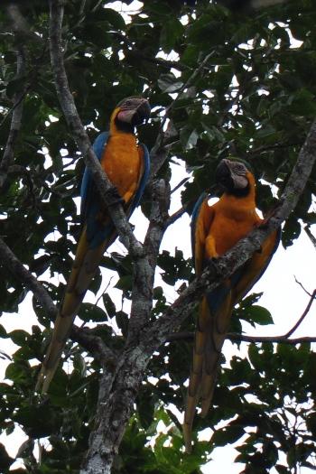 Ara papegøjer i Amazonas