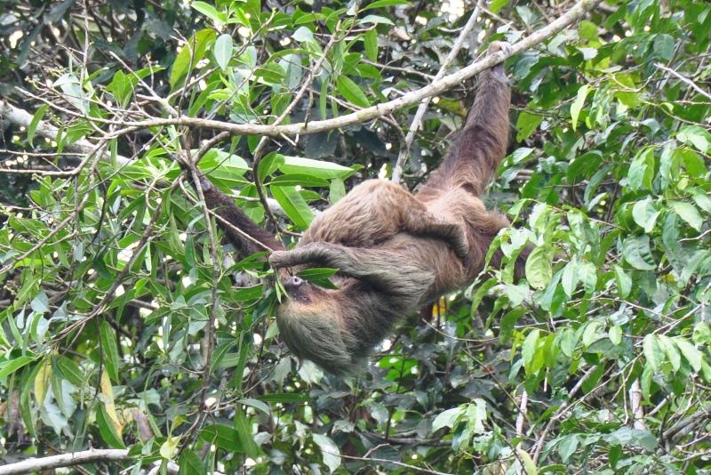Totået dovendyr med unge i Amazonas