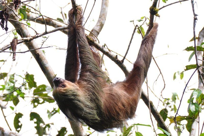 Totået dovendyr i Amazonas i Ecuador