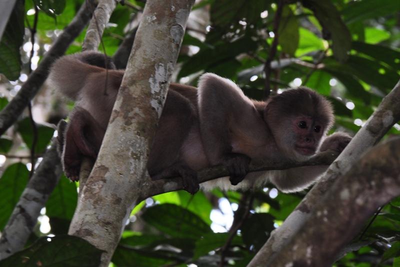 Capuchin abe i Amazonas i Ecuador