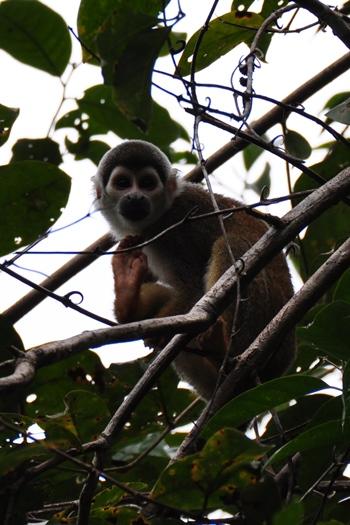 Edderkoppeabe i Amazonas
