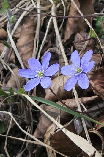 Blå anemoner på Møns klint