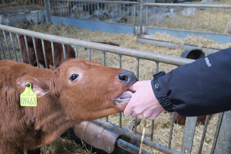 En kalv har tabt sin kærlighed til Rasmus