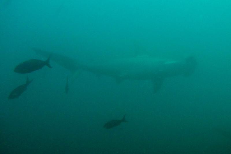 Hammerhaj ved Galapagos