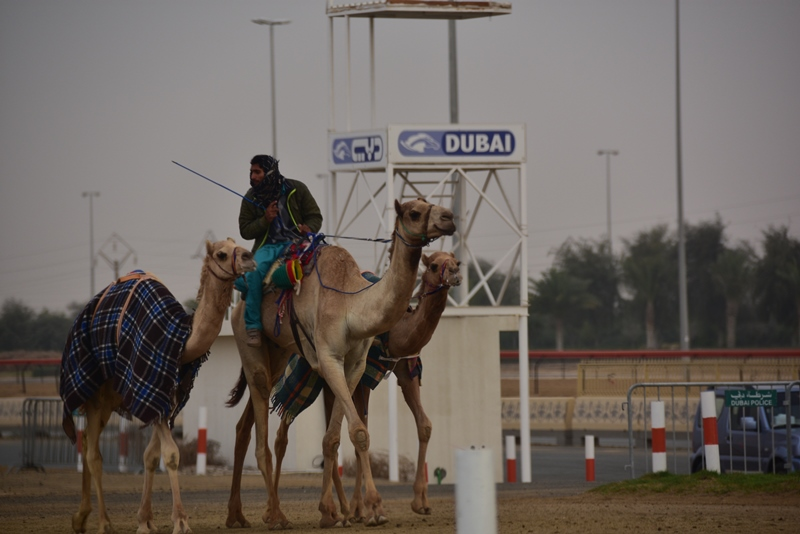 Cameler ved Dubai