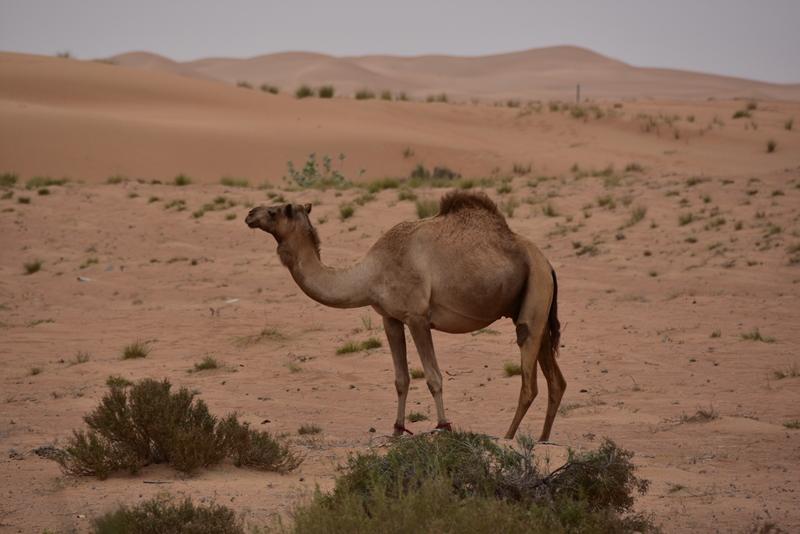Kamel i ørkenlandskab
