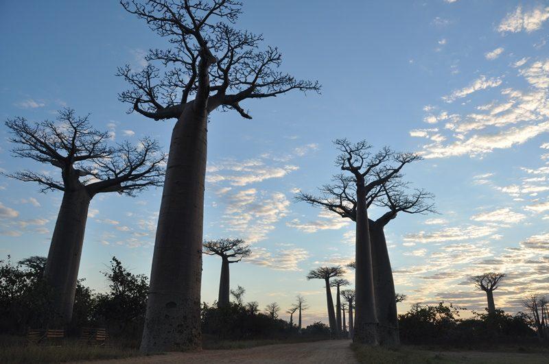 Morgen ved Baobaballen i Madagaskar