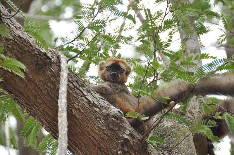 Redfronted brow lemur i Kirindy skovreservat, Madagaskar