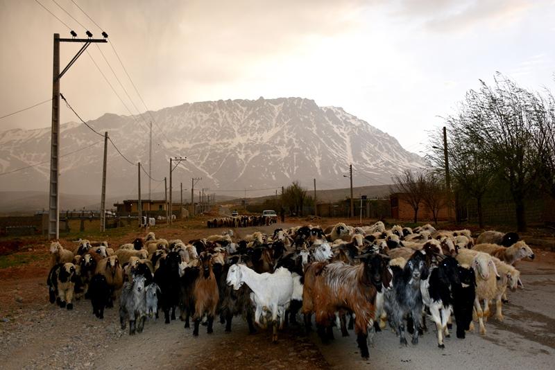 Roadblock af får på vejen