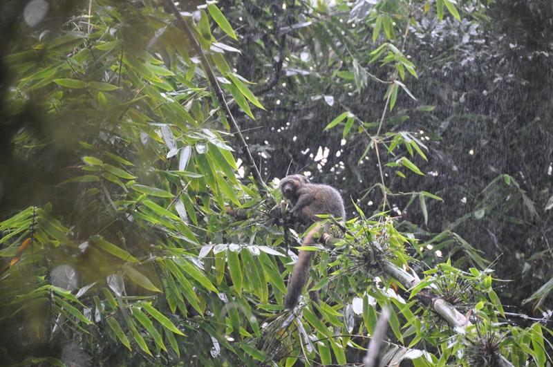 Den gyldne bambuslemur i Ranomafana Nationalpark i Madagaskar