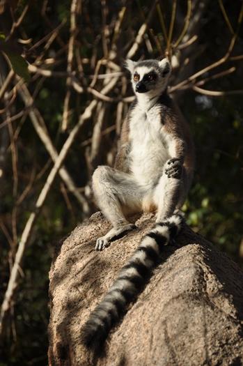 Kattalemur poserer i nationalpark i Madagaskar