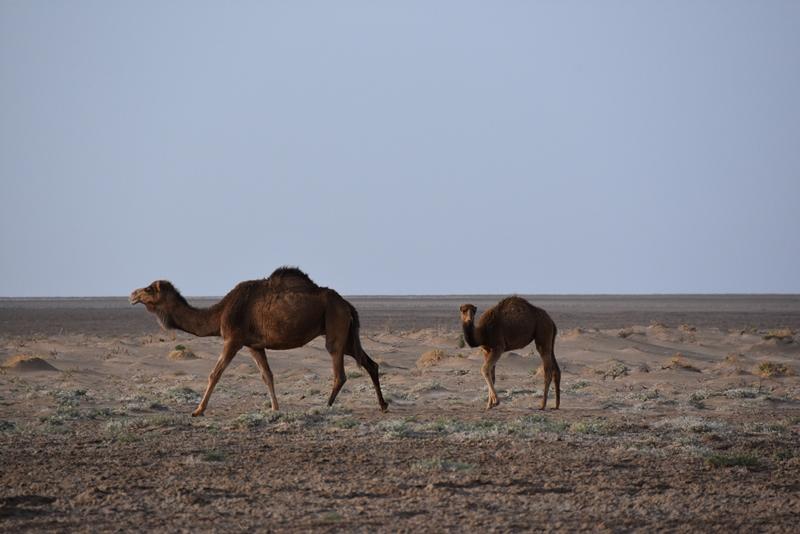 Kameler på tur