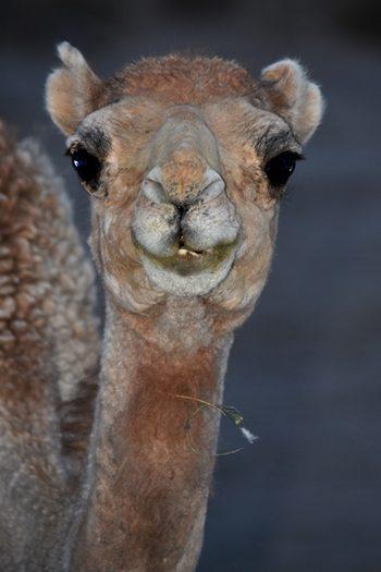 Kamel i ørkenen