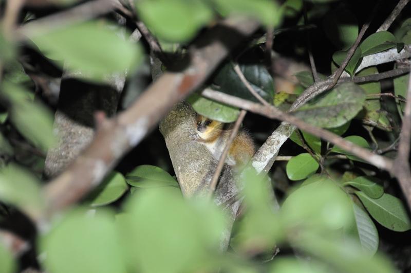 Den lille muselemur fundet om natten