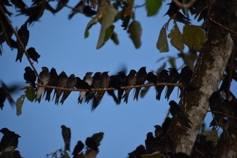 Svalerne sidder tæt i Leticia, Colombia