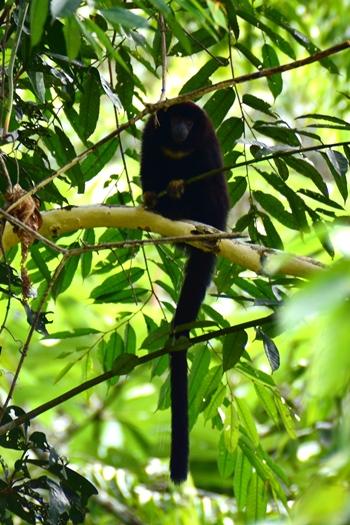 Yellow handed titi monkey i Amazonas, Colombia