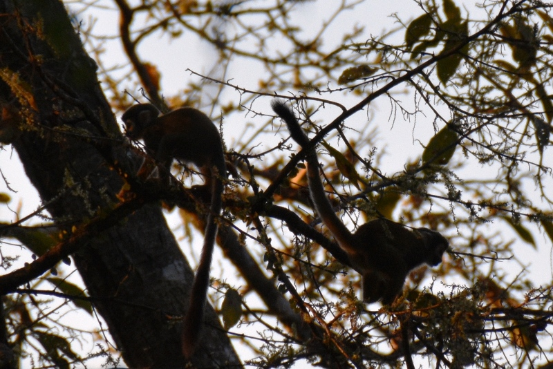 Hr. Nilsson i træerne i Colombia