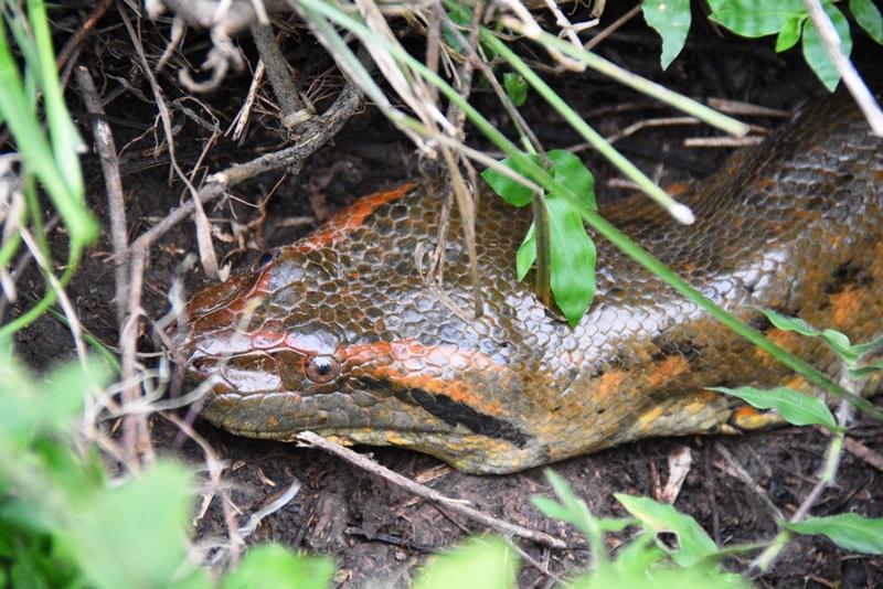 Hovedet af en anakonda på ca. 3½ meter, Los Llanos, Colombia