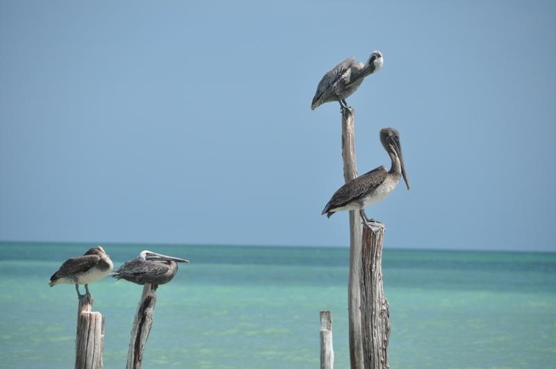 Pelikaner på Holbox, Mexico