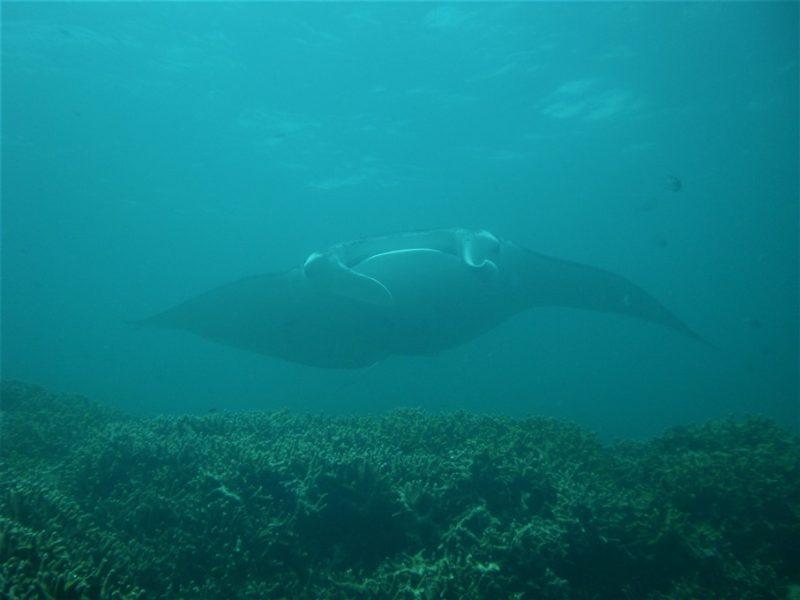 Djævlerokker på dyk ved Yap