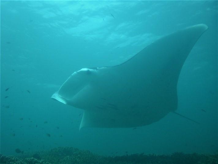 Fedt at dykke med djævlerokker på Yap i Mikronesien