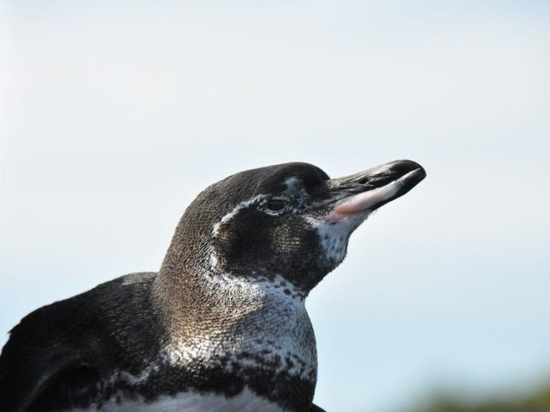 Pingvin på vores cruise på Galapagos