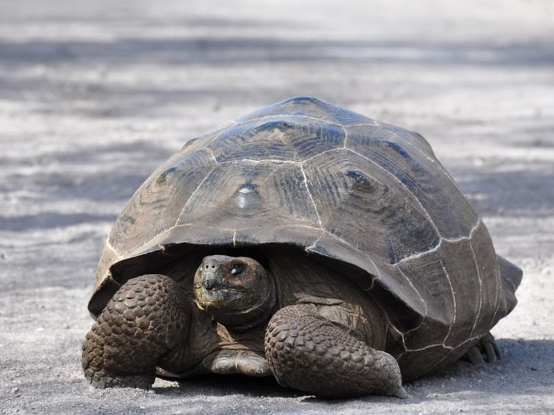 En fin landskildpadde på Galapagos