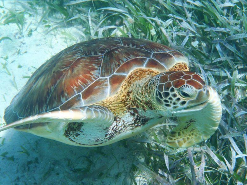En sød skildpadde ved Caye Caulker i Belize
