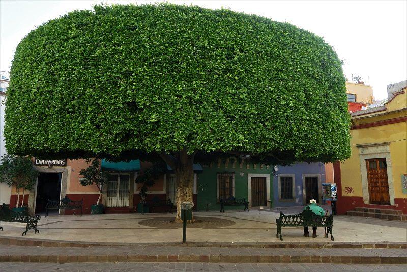 Træer klippet i facon, Guanajuato, Mexico