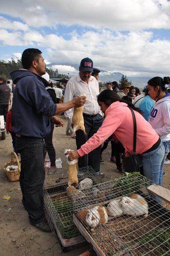 Marsvin på Otavalo marked