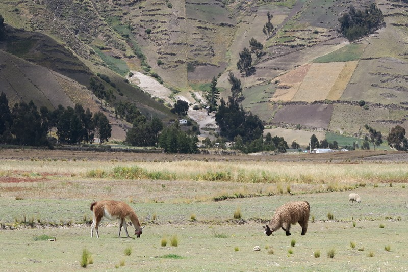 Lamaer og Andesbjergene