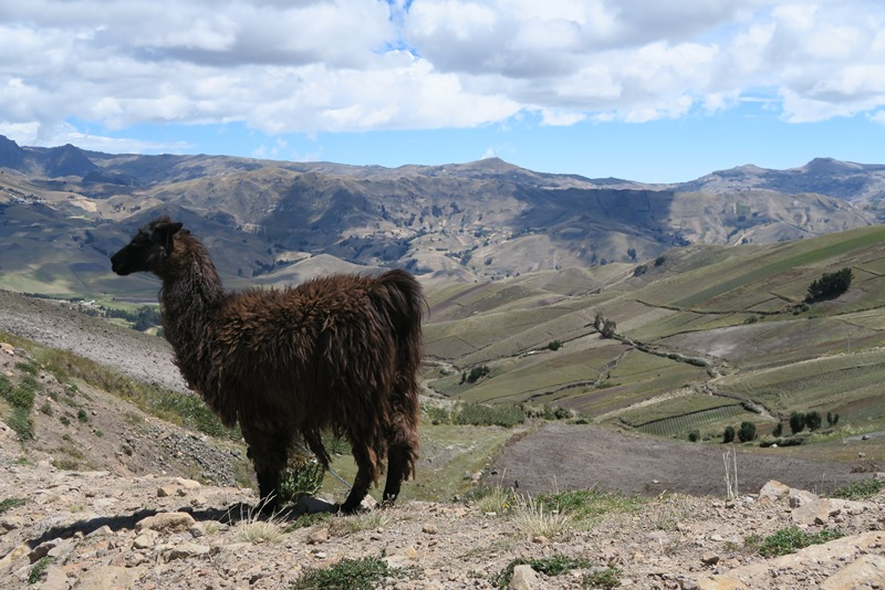 Lama og Andesbjergene